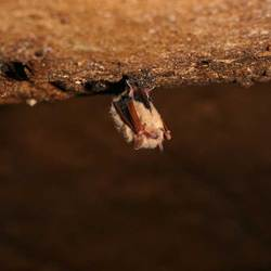 bat on cave ceiling